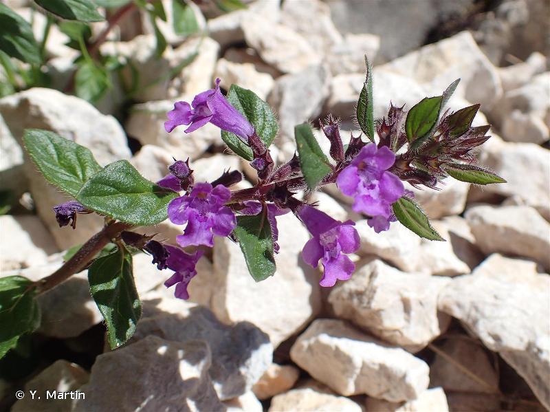 Clinopodium alpinum