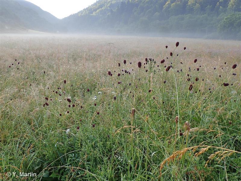 38.22 - Prairies de fauche des plaines médio-européennes - CORINE biotopes