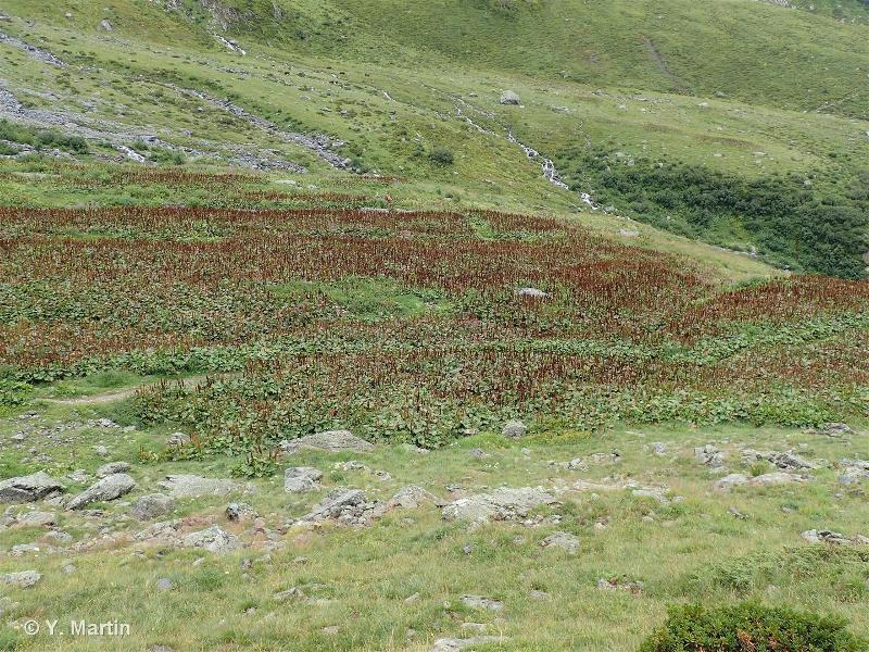 37.88 - Communautés alpines à Patience alpine - CORINE biotopes