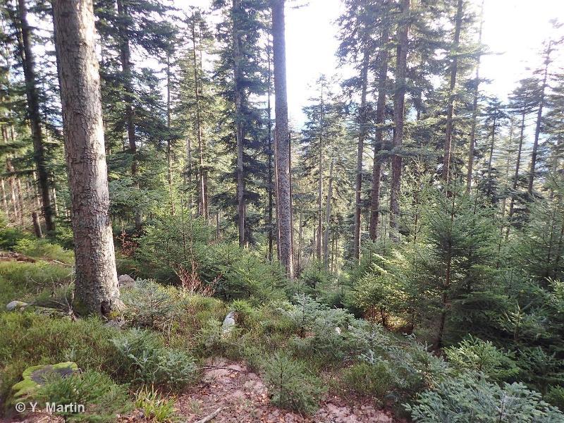 42.132 - Sapinières acidiphiles de la zone du Hêtre - CORINE biotopes