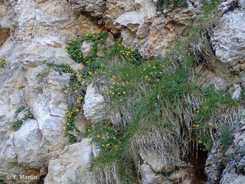 H3.251 - Communautés héliophiles des falaises calcaires alpines - EUNIS