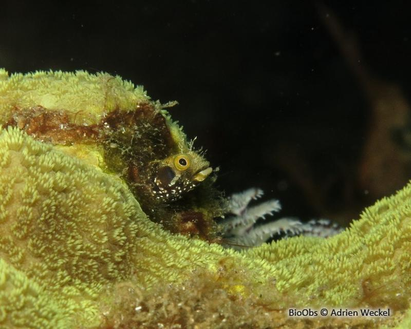 Acanthemblemaria spinosa