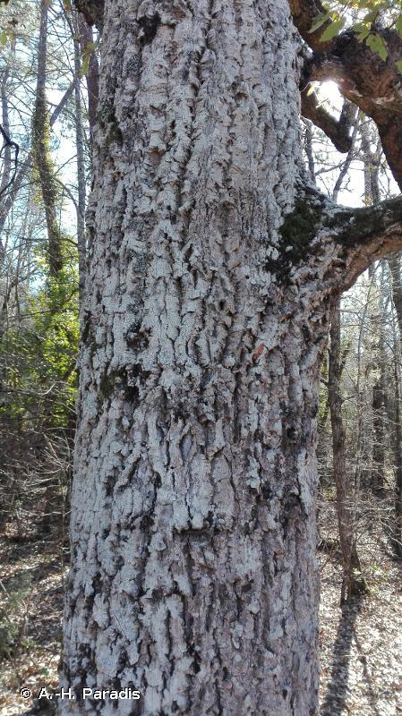 Quercus crenata