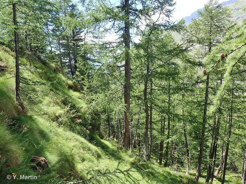 42.3312 - Forêts occidentales de Mélèzes et de Mélèzes et de Pins de montagne sur prairies - CORINE biotopes