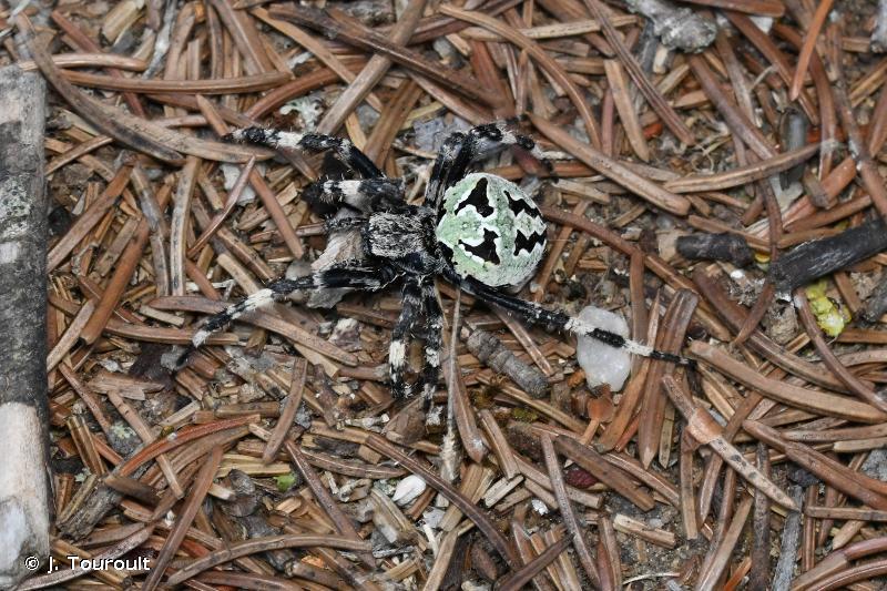Araneus circe
