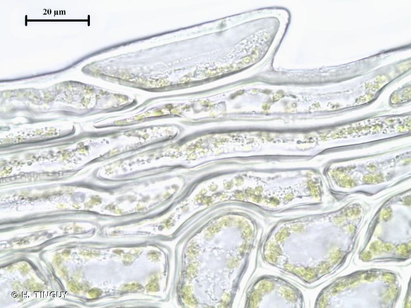 Plagiomnium ellipticum