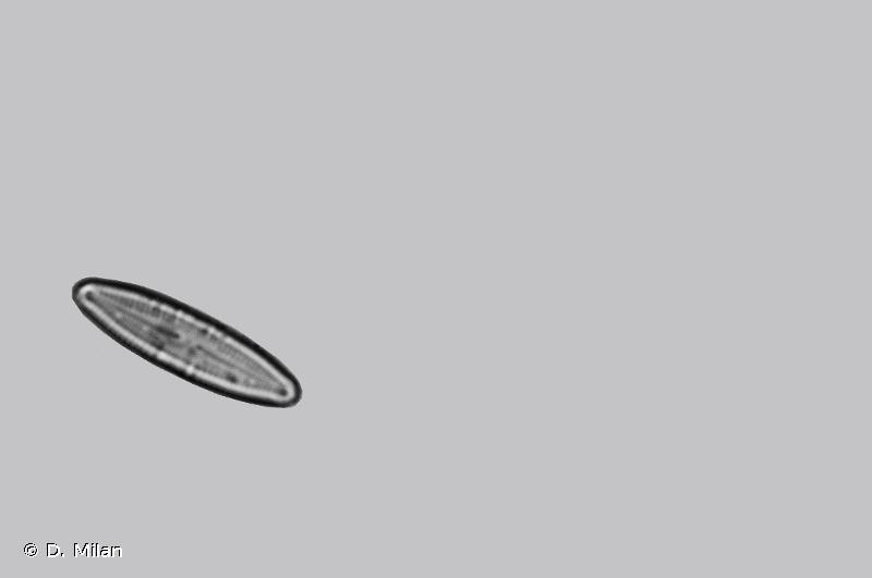 Caloneis bacillum