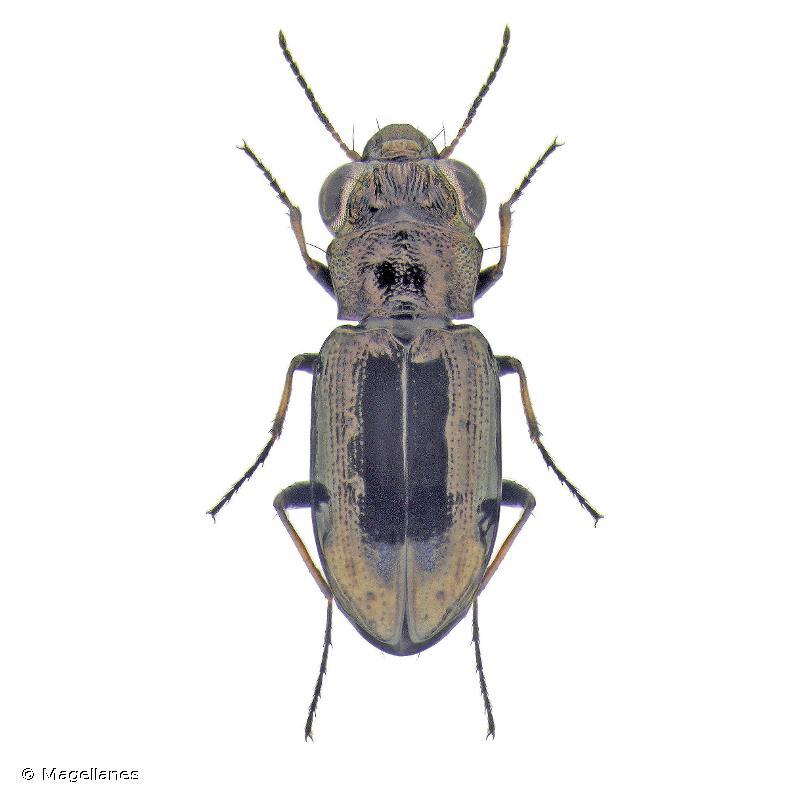 Notiophilus quadripunctatus