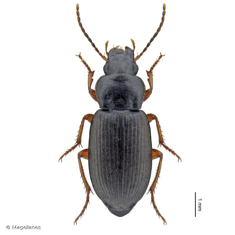 Parophonus maculicornis