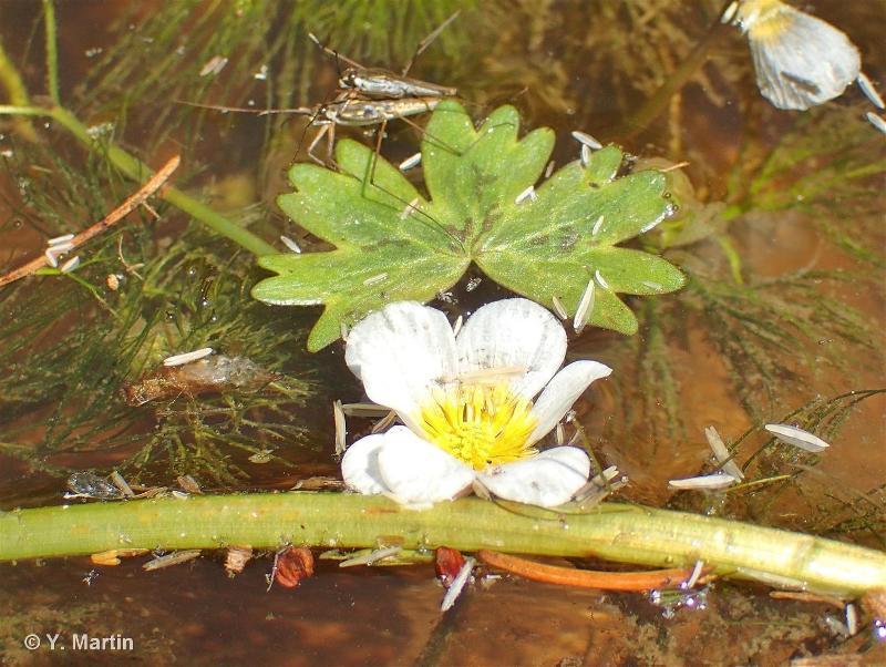 Ranunculus penicillatus subsp. penicillatus