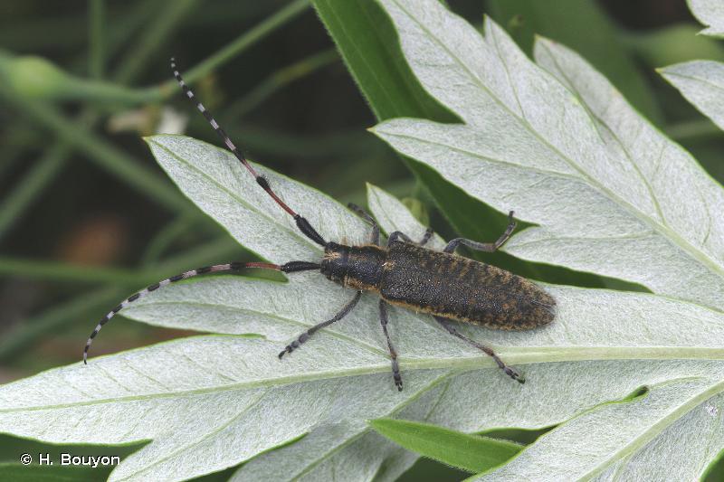 Agapanthia sicula