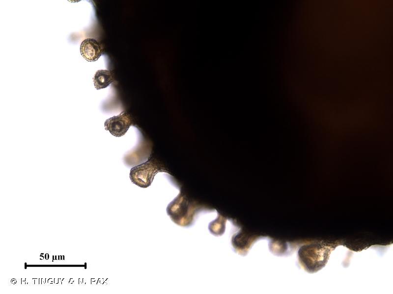Spergula echinosperma