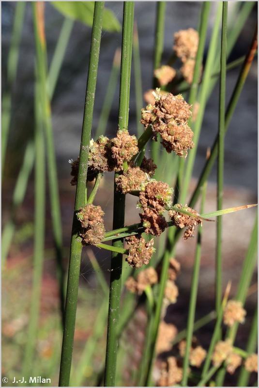 Scirpoides holoschoenus