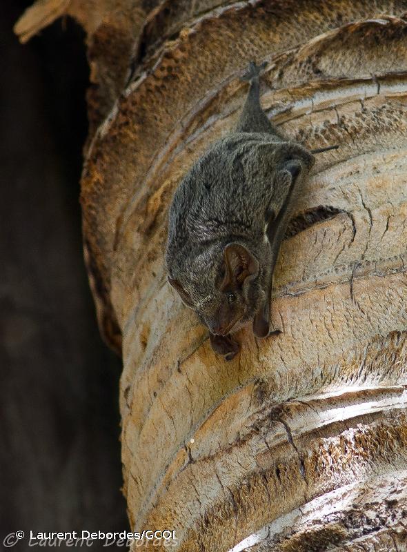 Taphozous mauritianus
