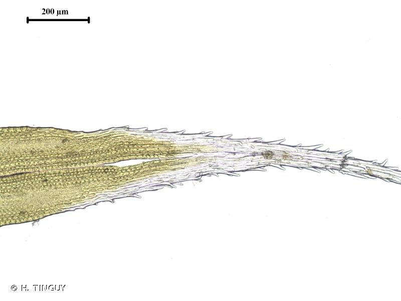 Grimmia decipiens