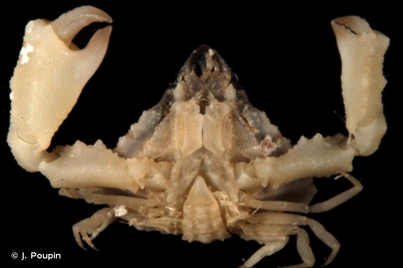 Celatopesia concava