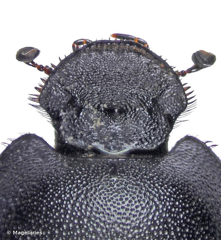 Euonthophagus amyntas