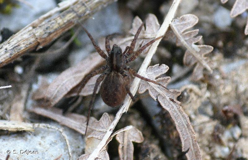 Pardosa pullata