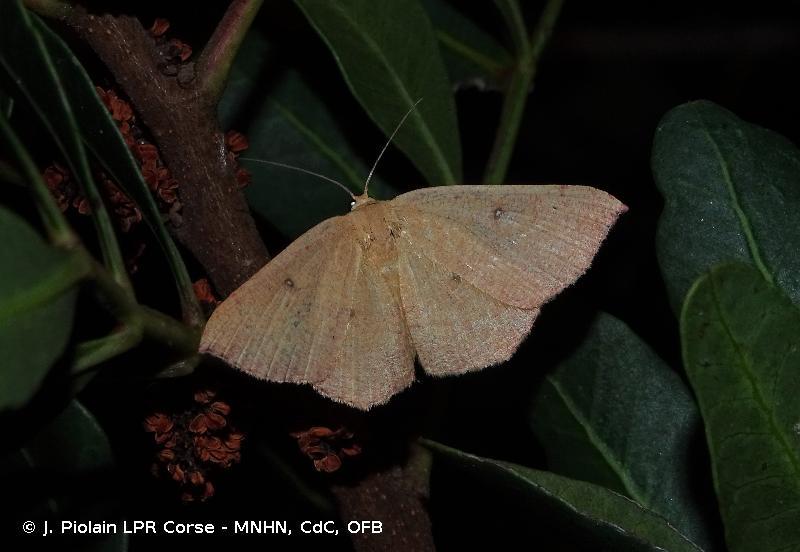 Cyclophora puppillaria