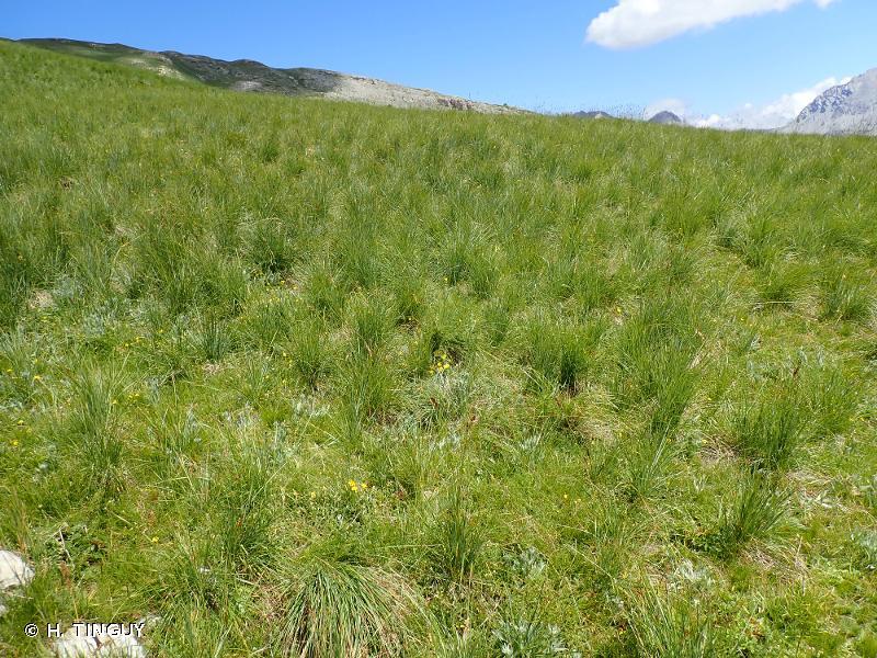 Patzkea paniculata subsp. paniculata
