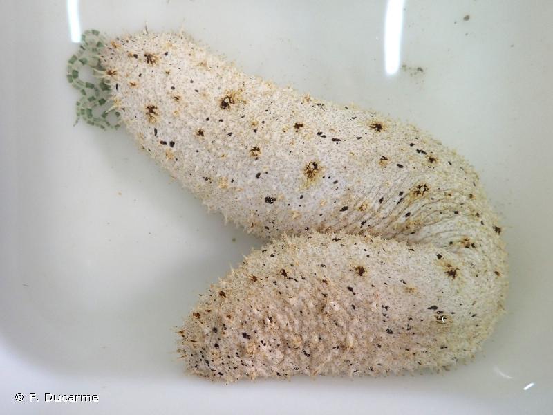 Holothuria inhabilis