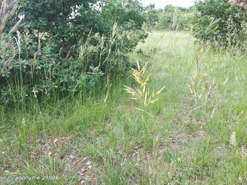 Bromopsis erecta subsp. erecta