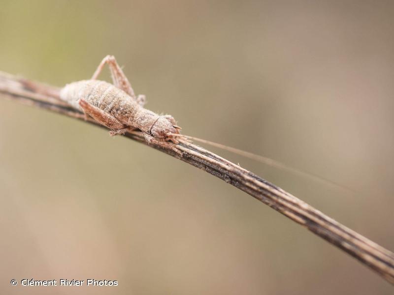 Arachnocephalus vestitus