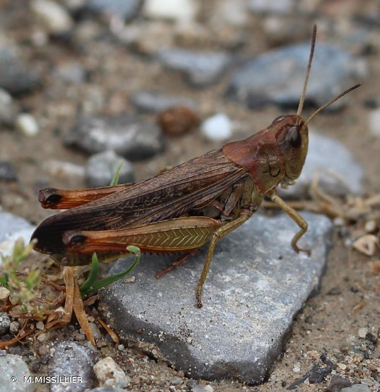 Stauroderus scalaris scalaris