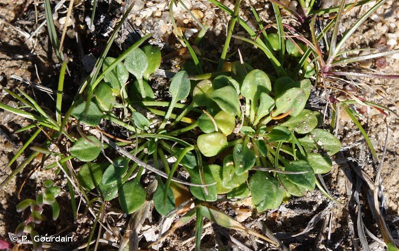 Bellium bellidioides