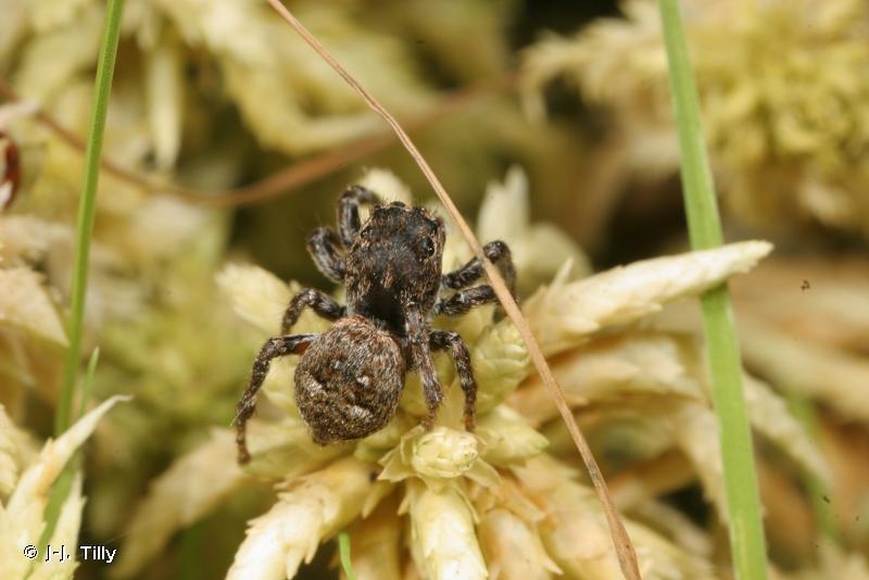 Attulus floricola