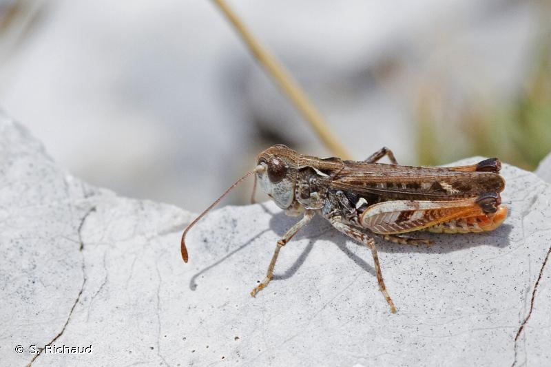 Myrmeleotettix maculatus maculatus
