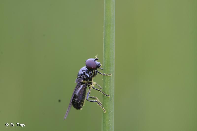 Melanogaster nuda