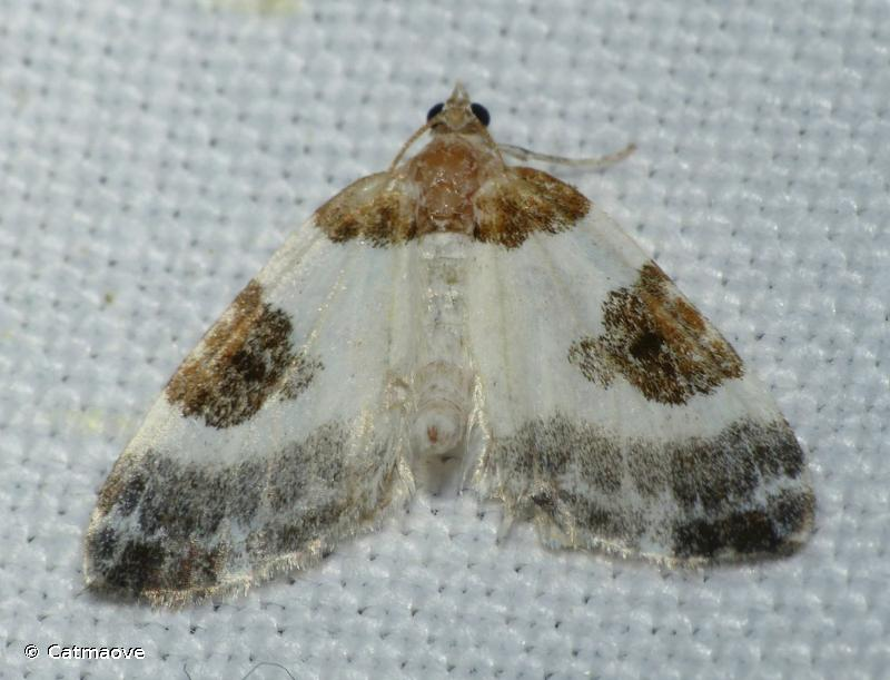 Plemyria rubiginata