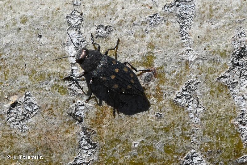 Trachypteris picta decostigma