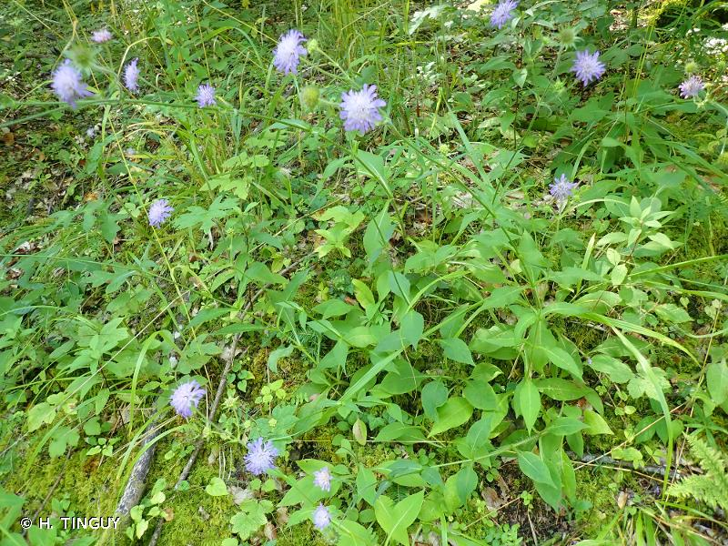 Knautia dipsacifolia