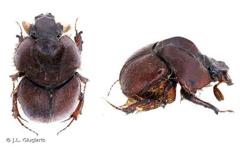 Neoathyreus lanuginosus