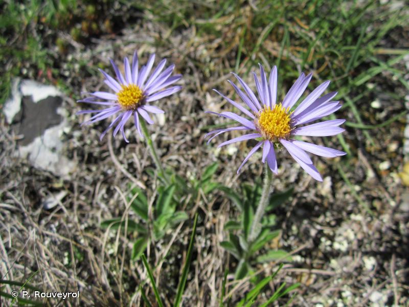 Aster alpinus var. cebennensis