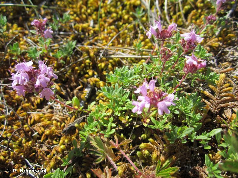 Thymus dolomiticus