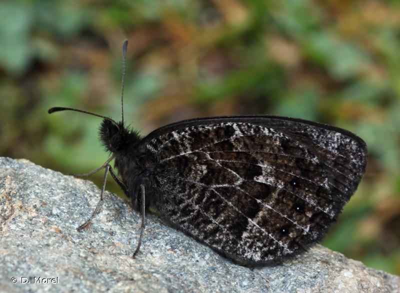 Erebia montana
