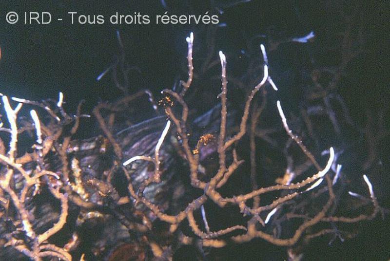Anacropora forbesi