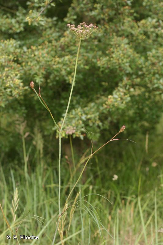 Peucedanum gallicum