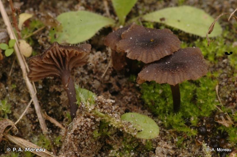 Entoloma flocculosum