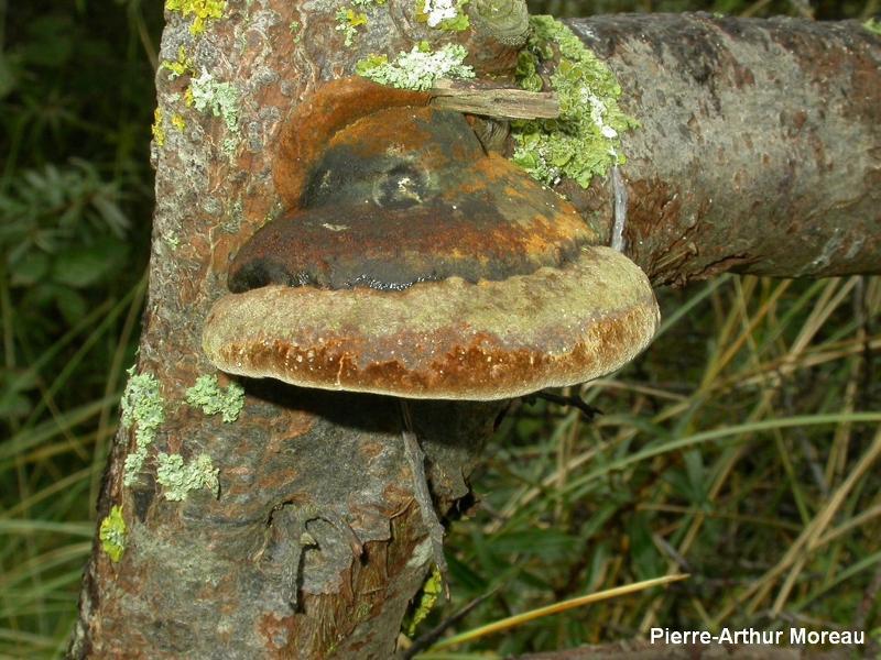 Phellinus hippophaecola