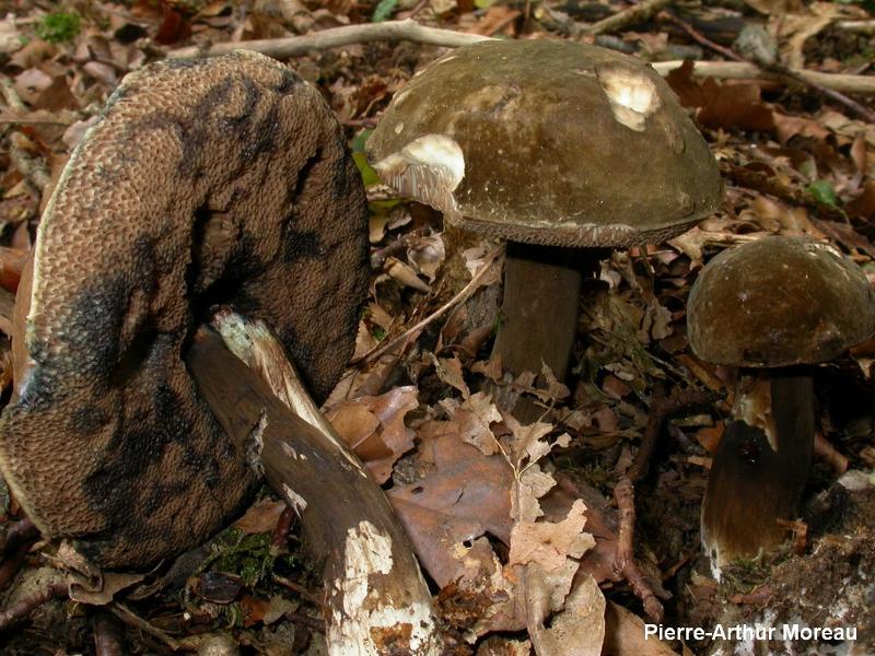 Porphyrellus porphyrosporus