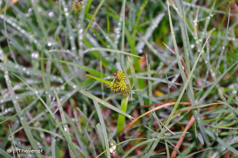 Carex lepidocarpa