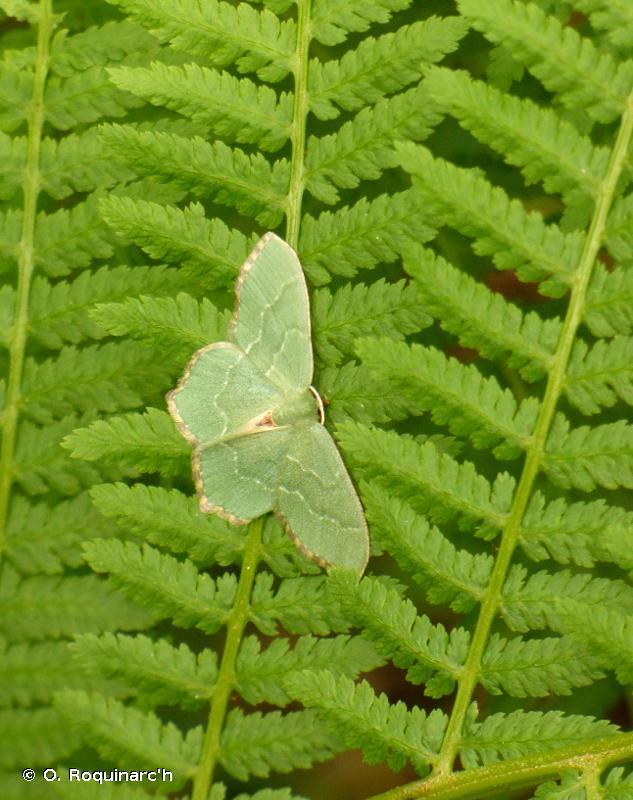 Hemithea aestivaria