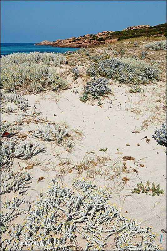 16.211 - Dunes embryonnaires - CORINE biotopes
