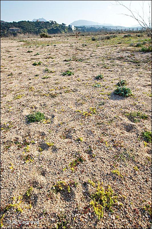 2230-1 - Pelouses dunales des <em>Malcolmietalia</em> - Cahiers d'habitats