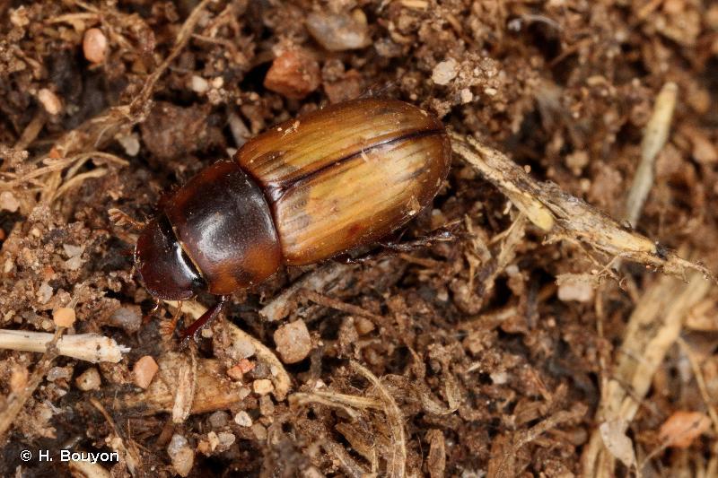 Acanthobodilus immundus