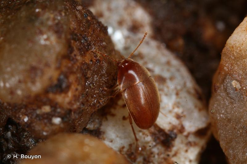 Parvospeonomus delarouzeei